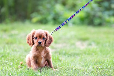 brown puppy on leash.jpg