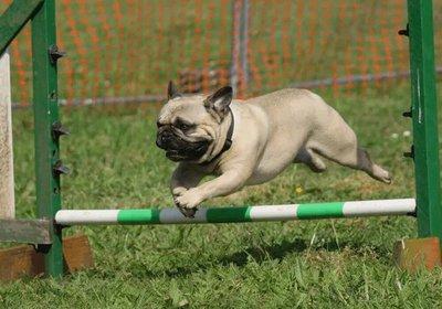 bulldog jumping.jpg