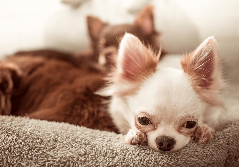 Chihuahua qui se repose