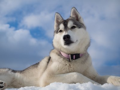 husky with collar.jpg