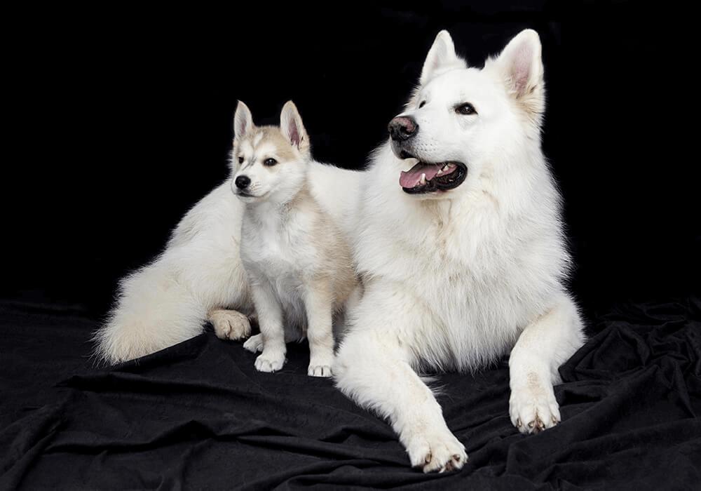 Berger blanc suisse et Chiot Husky de Sibérie