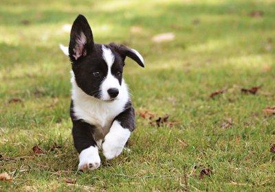 puppy running on grass
