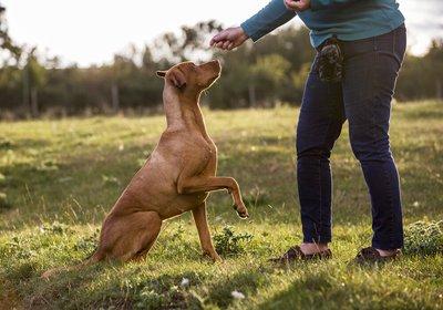 red dog training.jpg
